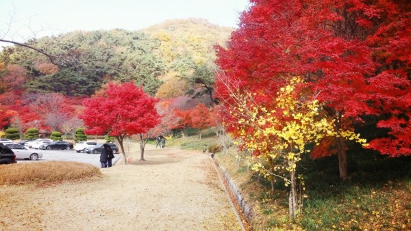 단풍으로 붉게 물든 아름다운 영광 불갑사-3.jpg