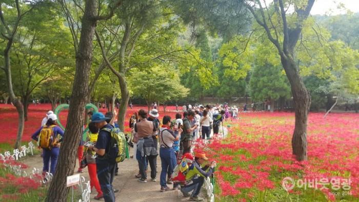제19회 영광불갑산상사화축제 18일 개막 1.jpg