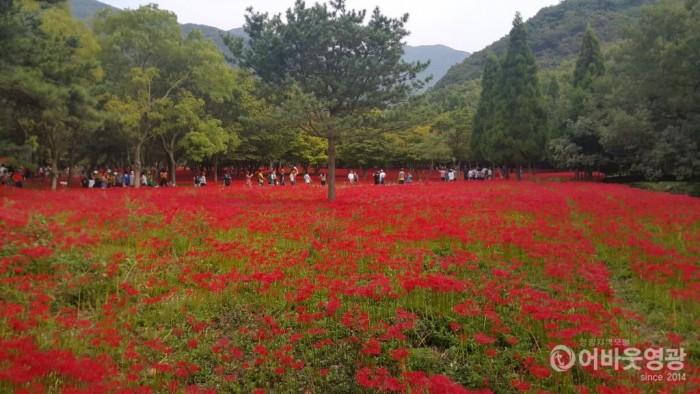 제19회 영광불갑산상사화축제 18일 개막 2.jpg