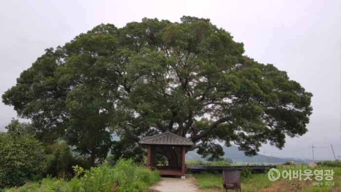 사본 -영광군, 마을의 터줏대감 수령 300년 팽나무 등 보호수 추가 지정.jpg