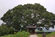 영광군, 마을의 터줏대감 수령 300년 팽나무 등 보호수 추가 지정