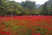 제19회 영광불갑산상사화축제 18일 개막
