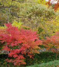 푸른 상사화 잎과 붉은 단풍이 어우러지는  영광 불갑사로 여행을 떠나보세요