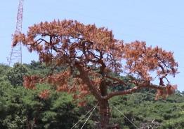 명품소나무야 넌 왜 죽어가니?? 백수 장산로타리 명품 소나무 식재 1년여만에 고사 위기